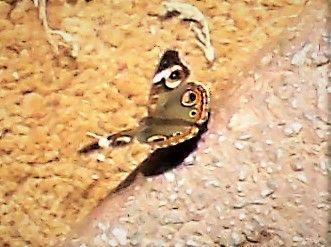 5985c1366ca16_monarchbutterfly3.jpg.47028bf44ae3aca0298cb0abcefe189e.jpg